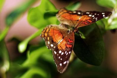 Merry Monarch