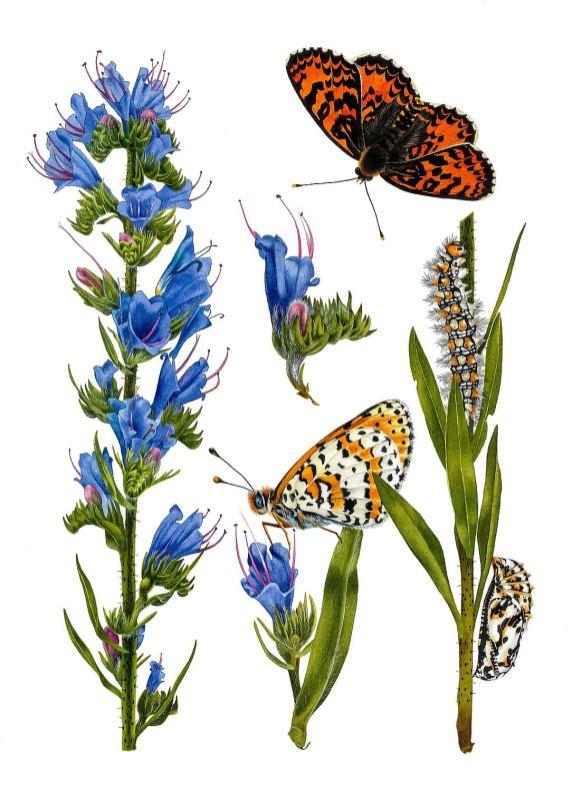 #WorldWatercolorGroup - Watercolor by Krzysztof Kowalski - Echium Vulgare and Melitaea Didyma - #doodlewash