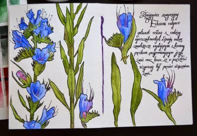 #WorldWatercolorGroup - Watercolor by Krzysztof Kowalski - echium vulgare sketch - #doodlewash