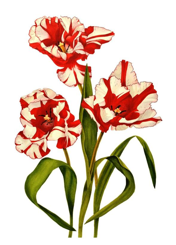#WorldWatercolorGroup - Watercolor by Krzysztof Kowalski - Parrot Tulip Estella Rijnveld - #doodlewash