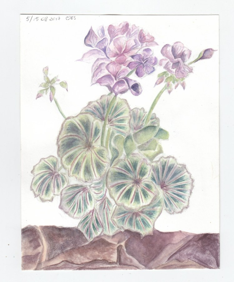 More flowers, sketched in Warsaw, painted at home. Pelargonie
