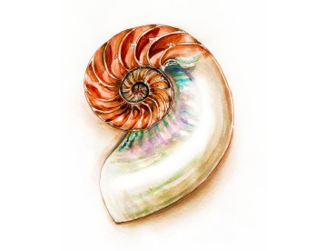 World Watercolor Group - Day 13 - My Favorite Shell - Nautilus - Doodlewash