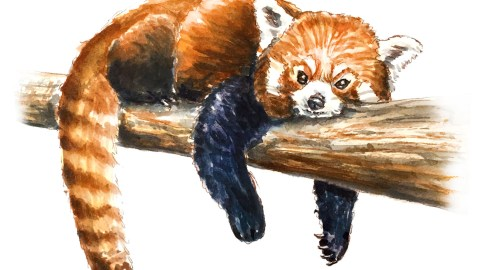 #WorldWatercolorGroup - Day 26 - My Favorite Face - Red Panda - Doodlewash
