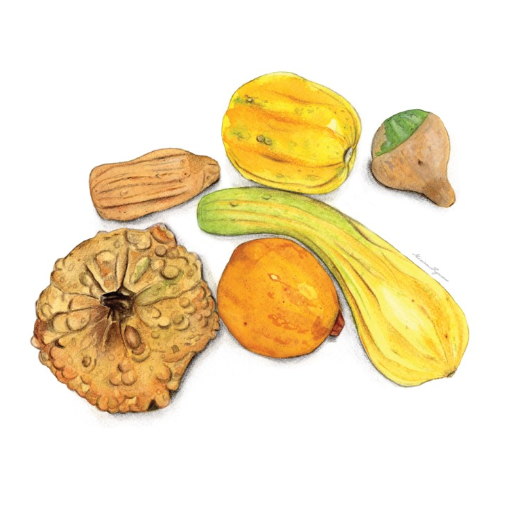 Six varieties of Winter squashes. Mixed media technique using watercolor, colored pencils and graphi