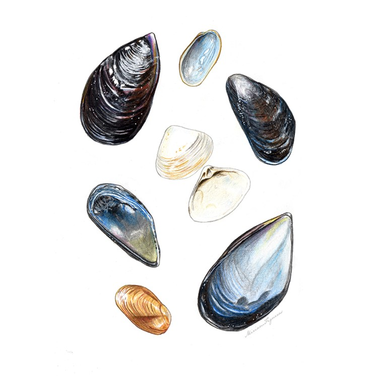 Illustration study and composition of mussels and clams. Varieties are: Spisula solidissima (Atlanti