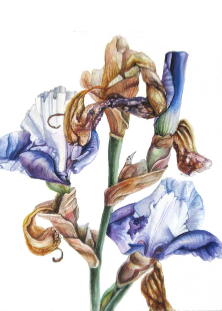 Dutch Iris – Botanical Watercolour art by Lee Angold Cropped card front2