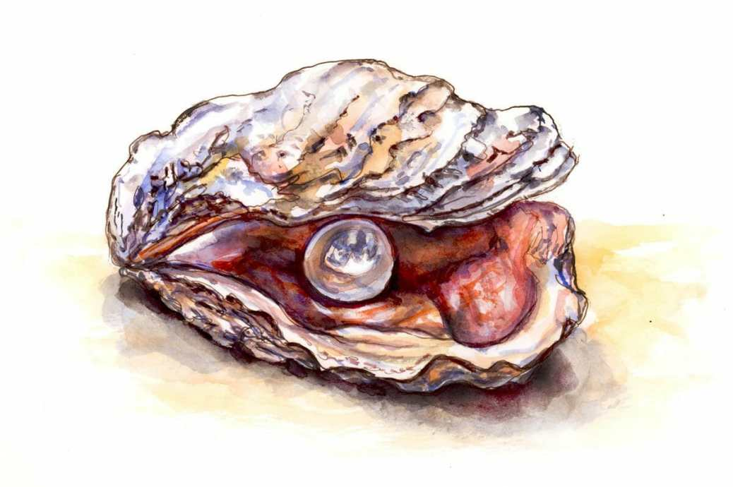 Oyster Pearl Drawing