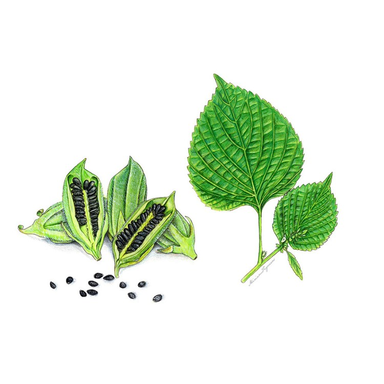 Black sesame and its leaves. Black Sesame by Miriam Figueras