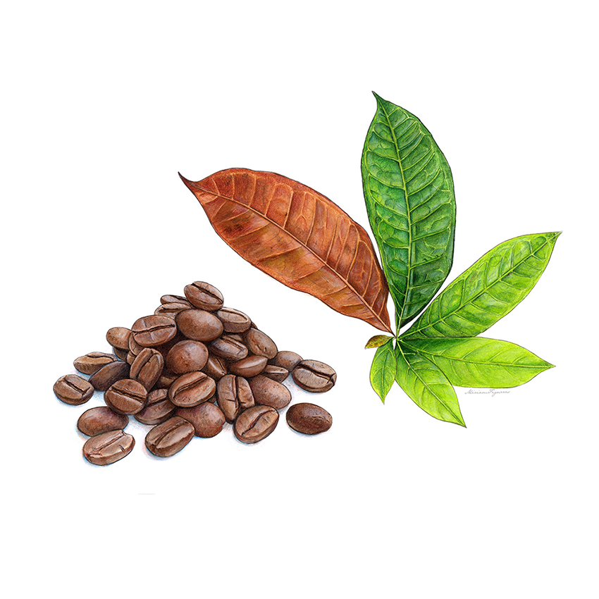 Coffee beans and leaves. COFFEEBEANS_850px