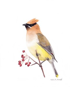 Cedar Waxwing from one of my own photos. We have a hawthorn tree my grandfather planted and the berr