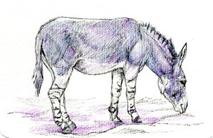 The African Wild Ass is considered to be the ancestor of the domestic donkey -Zensations Technical P