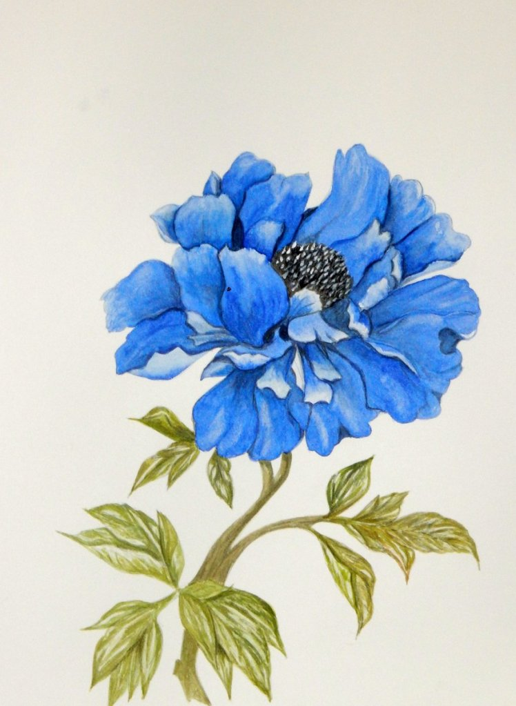 World Watercolor Group™ BLUE CHINESE PEONY This is the third painting I have done of this bea