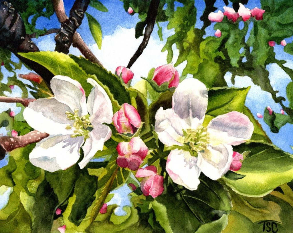 Apple Blossoms from my own photo 14.
