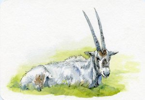 Postcards for the Lunch Bag: The Arabian oryx's white fur reflects the suns' ray and its