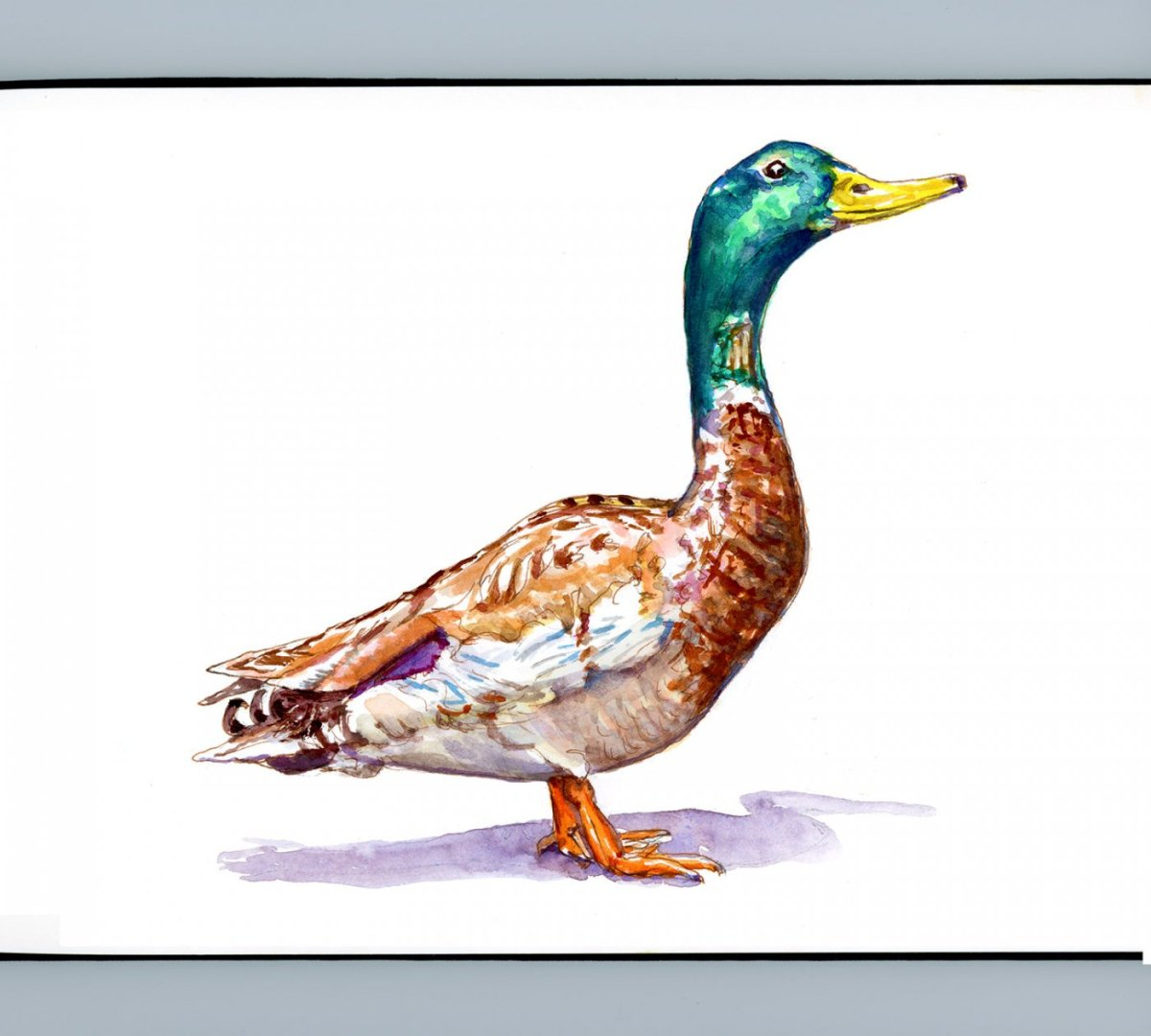 Day 8 - World Watercolor Month Flying Things Mallard Duck - Doodlewash