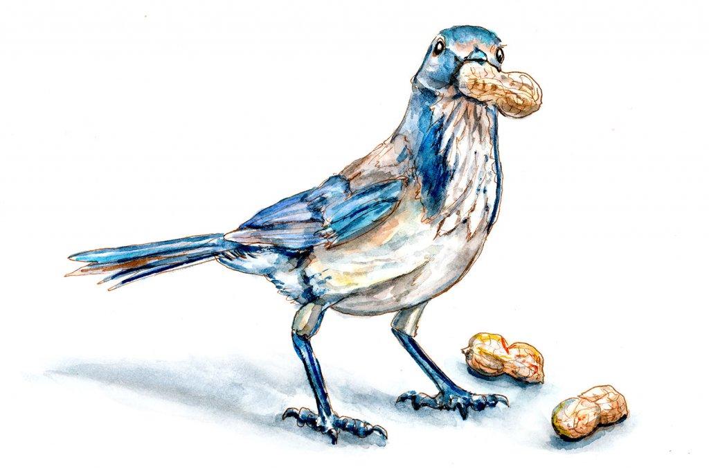 Day 13 - Peanut Day Blue Jay Watercolor - Doodlewash