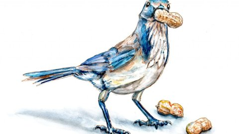 Day 13 - Peanut Day Blue Jay Watercolor - Doodlewash