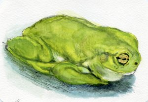 Postcards for the Lunch Bag – Did you know that the Dumpy Tree Frog's a scientific name