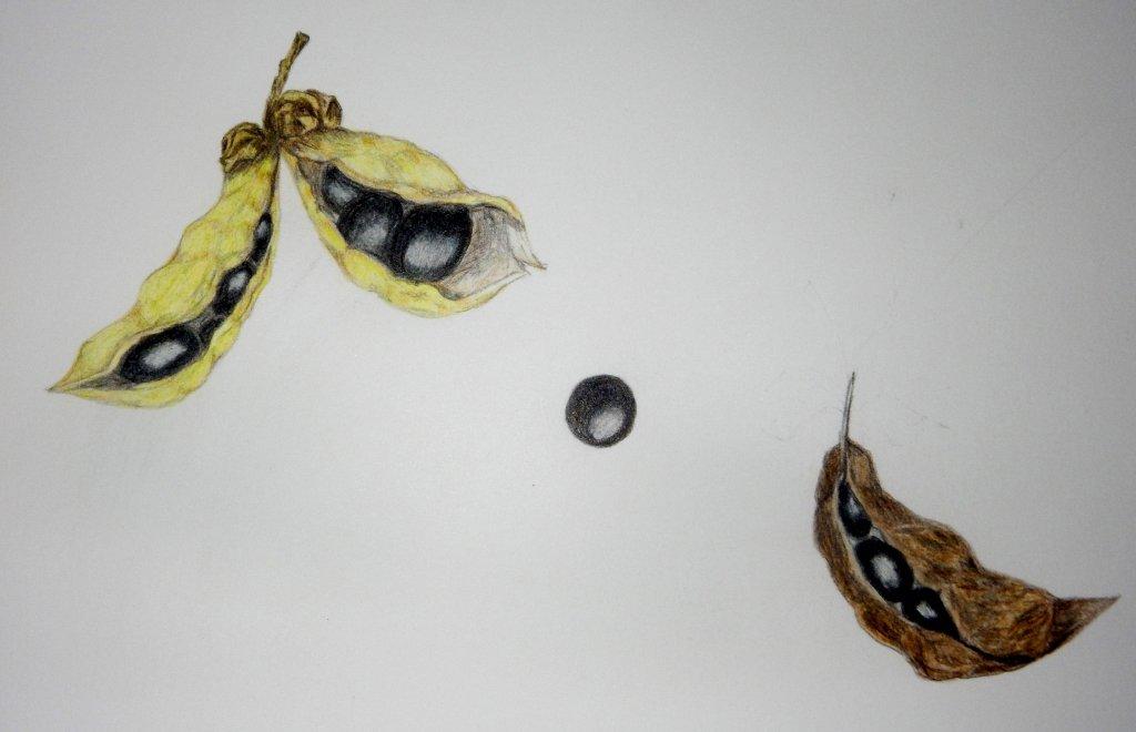 World Watercolour Group™. Day three TREE PEONY SEEDPODS. Pods did explode and pelted us all w