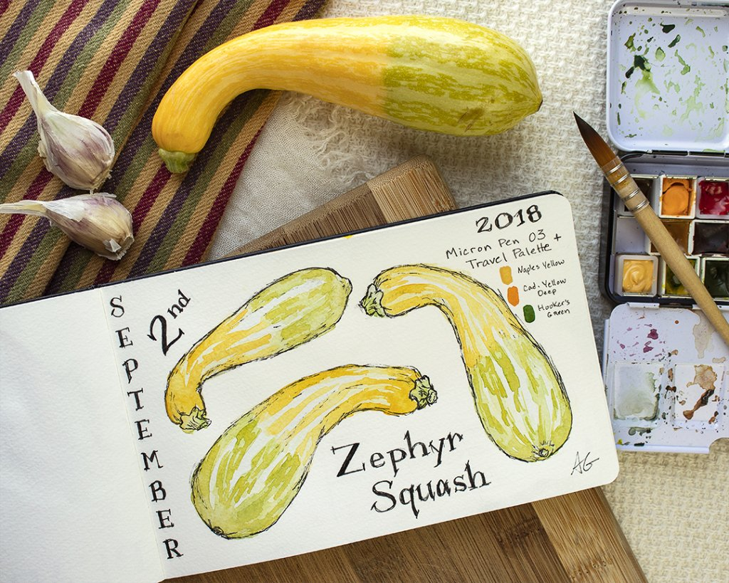 More work from my sketchbook. This time a little Zephyr Squash. So looking forward to autumn! zephyr