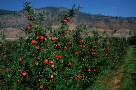 Thanks Anita, here is a promo photo from this valley apple orchard ripe