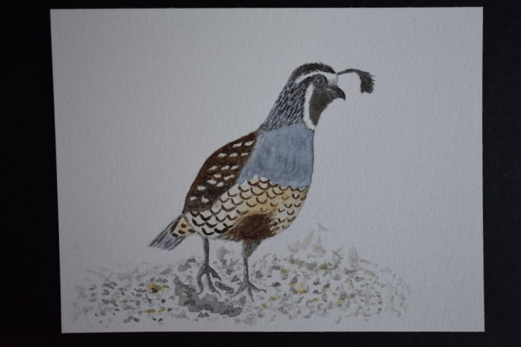 December 8, 2018 prompt birds. California quail. We have lots of these, but apparently this is the m