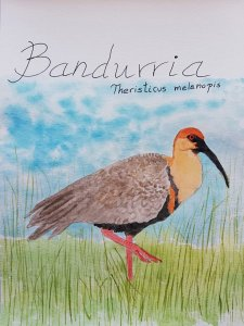 Bandurria, en Chile, Sudamerica IMG-20181231-WA0003