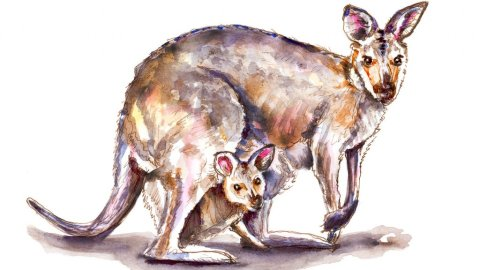 Day 1 - Wallaby And Baby Watercolor - Doodlewash
