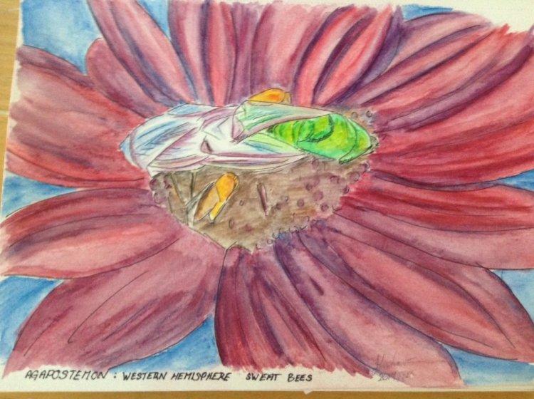Agapostemon, a.k.a. Sweat Bee Agapostemon_watercolour