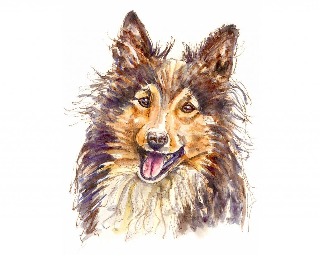 Sheltie Collie Watercolor Illustration - Doodlewash