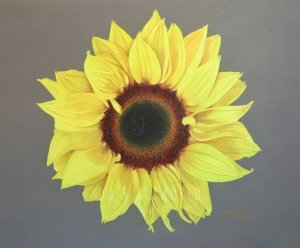 Sunflower – done with Museum Aquarelle watercolor pencils and NeocolorII as a base and colored