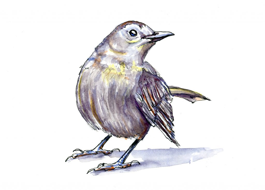 Grey Bird Watercolour Illustration - Doodlewash