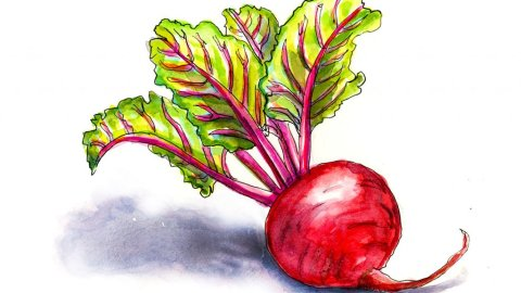 Beet Red Watercolor Illustration - Doodlewash