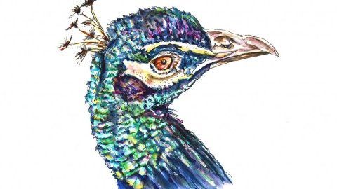 Peacock Watercolor Illustration - Doodlewash