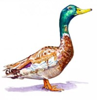 Duck In The Sun Illustration - Charlie O'Shields - Doodlewash