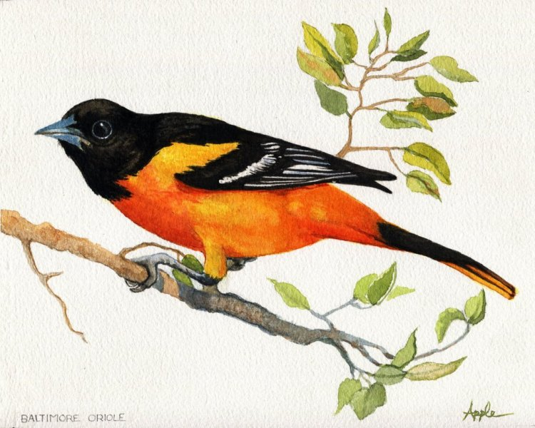 Baltimore Oriole – 9×12″ Arches140#CP paper w/Turner watercolors BaltimoreOrioleETS