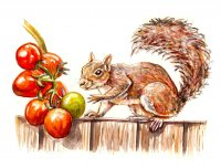 Squirrel Stealing Tomatoes Illustration