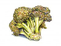 Broccoli Watercolor Illustration