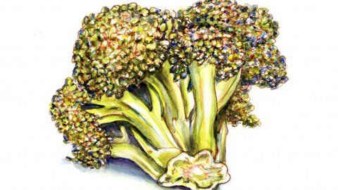 Broccoli Watercolor Illustration
