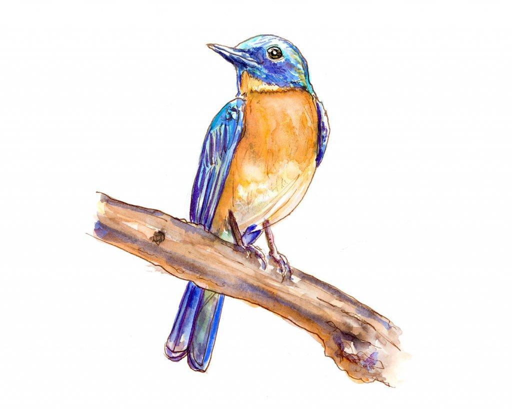 Bird Blue Throated Flycatcher Watercolor Illustration