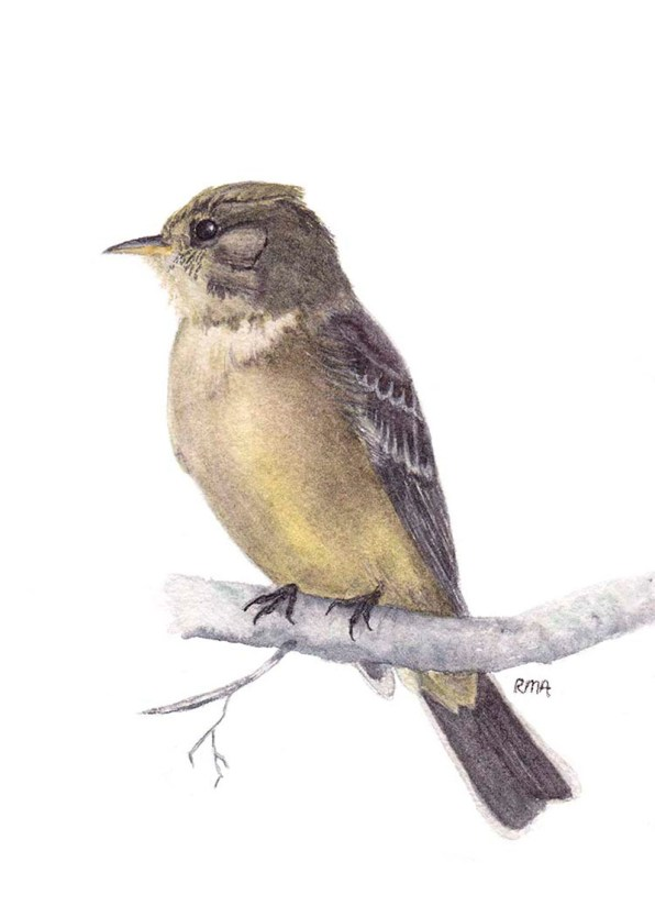 Eastern Phoebe Watercolor by Robin Arnold