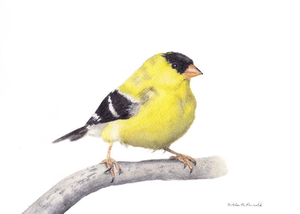 Goldfinch Watercolor by Robin Arnold