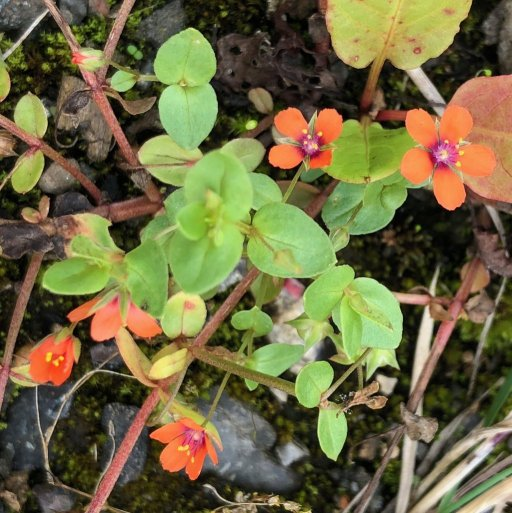 The striking flowers of Scarlet Pimpernel, Anagallis arvensis are only open for a short time each da