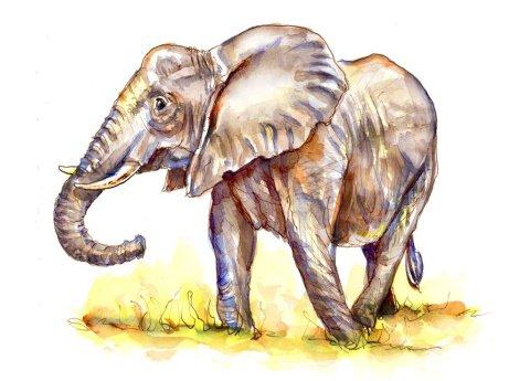 Elephant Watercolor Illustration