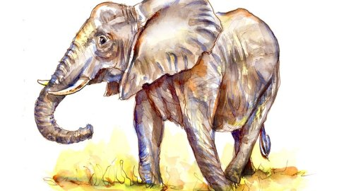 Elephant Watercolor Illustration