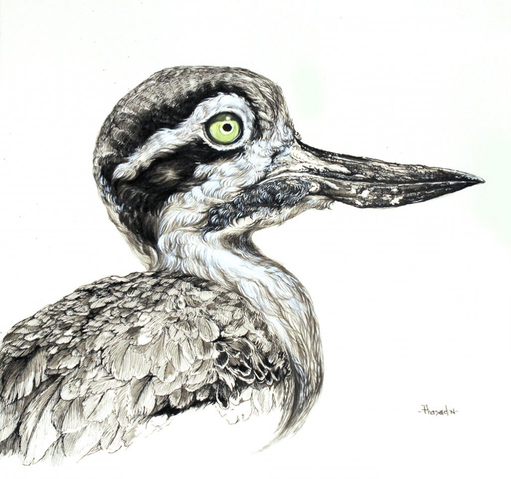 Eurasian thick-knee drawing painting by Prasad Natarajan