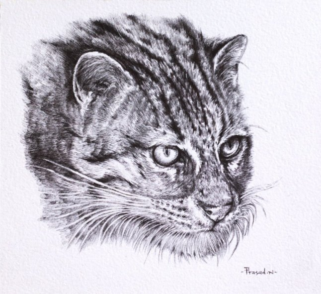 Fishing Cat drawing by Prasad Natarajan