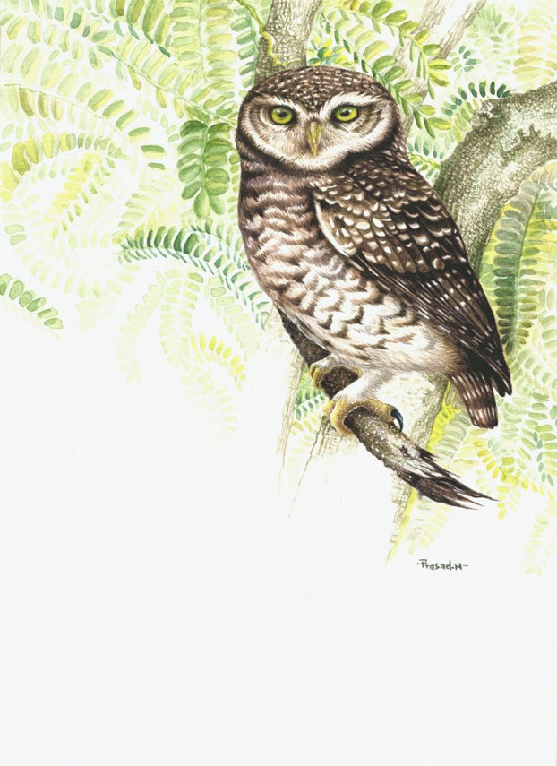 Spotted Owlet Watercolor Painting by Prasad Natarajan