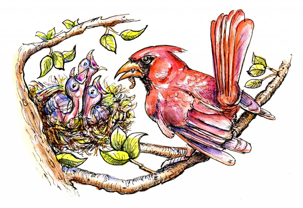 Baby Birds Cardinal Father Feeding Inktober Watercolor Illustration