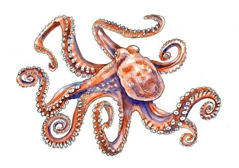 Octopus Watercolor Illustration